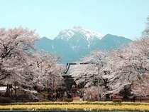日本三大桜「山高神代桜」(山梨県)