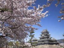 桜の名所松本城、例年4月中旬が見頃です