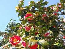 宿付近の椿の花。自然の椿が多く咲いています。