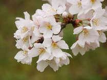 【お花見】春はやっぱりコレ!庄川峡に咲くさくらにほっこり♪お酒サービス付き!