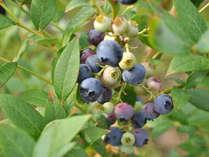 甘酸っぱくて美味しい♪ ブルーベリー狩り&お土産で、自然の恵みをご堪能ください
