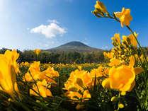 *【八丈島フリージアまつり 】八丈島に春の訪れを知らせる恒例のお祭りです。