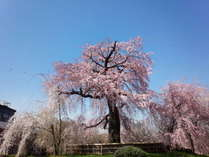 2020年春丸山公園枝垂れ桜画像1