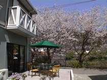 [写真]ソメイヨシの咲く頃のオープンテラス