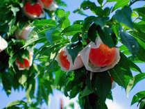 【金桜園】桃狩り割引券付きプラン
