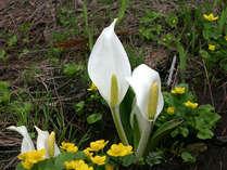 春の栂池高原-水芭蕉
