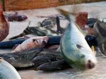 朝捕れの魚は、今まで活きていたものばかり。鮮度がちがいます。これがお料理に。