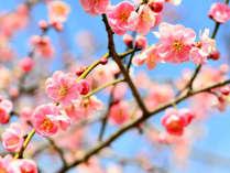 梅の宴【2月上旬~3月下旬】4,000本の梅の木が咲き誇る、まるで梅の絨毯!