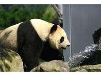 アドベンチャーワールドの人気者!パンダに会いに行きませんか