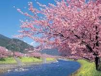 2月上旬から開花がはじまる河津さくら