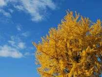 【秋】静かに揺らぐ黄葉と、清々しい秋晴れの空。
