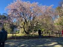 六義園の桜【2020年3月24日】