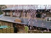 玄関 枝垂れ桜