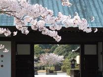 門棟桜。春の葛城北の丸は、桜・つつじ等の花々がきれいに咲き誇ります。