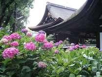 藤森神社境内のあじさい
