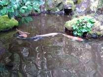 中庭の池には鯉が泳いでいますよ