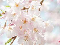【3月限定】春の桜プラン◇お日にち限定でお一人様7,720円~◇2食付
