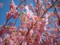 春旅!今年の河津桜祭りは、2月10日~3月10日開催