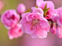 【日本一の桃源郷へ♪春祭り】桃と桜を一緒に愛でる【プレゼント付】