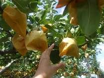 【9月】太陽を浴びたあま~い梨!もぎたてを食べよう!