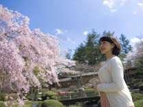 当館庭園の桜の見頃は例年4月20日前後です