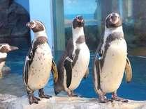 新江ノ島水族館の可愛らしいペンギン達♪