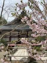 庭の桜から眺める本堂