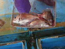 尾崎漁港の鯛の水揚げ