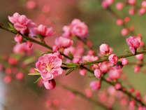 【先取り★日本一早いハウス桃宴】温かいハウスの中で桃のお花見♪送迎・入場料・お弁当がセットでお得!