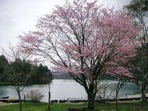 湯本温泉湯ノ湖畔の米桜【開花5月中旬頃~】車で約50分♪