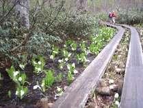 尾瀬国立公園 5月下旬から6月はミズバショウの季節です