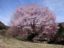 樹齢300年以上 村の天然記念物「天王桜」ゴールデンウィーク前後に見頃を迎えます