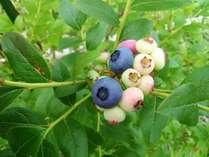 果樹の恵み 自家農園での無農薬ブルーベリー