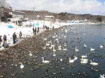 白鳥が飛来する猪苗代湖