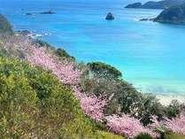 咲き誇る河津桜