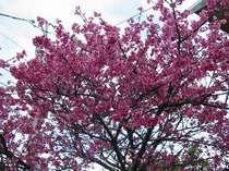 お花見:1月下旬~2月中旬にかけて一部のお部屋(3部屋)からは「お花見」ができます。
