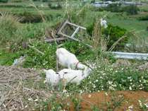 ヒージャー(山羊):お食事中のヤギをパシャリ!子ヤギがカメラ目線でサービス♪