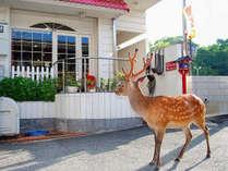 散歩している鹿さんが宿の前まで来ることも!