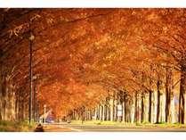秋のメタセコイヤ