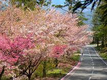 清流苑内の道も、桜並木がとてもきれい。バスツアーの途中も夜桜が楽しめる