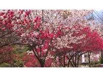 清流苑前花桃の花5月