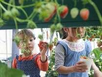 【3月限定】あま~いイチゴ食べ放題!イチゴ狩り【無料】プラン♪