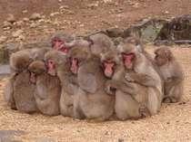 ★観光★冬の寒い日は「猿だんご」を見ることができる『銚子渓お猿の国』