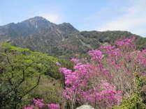綺麗な花を見せる御在所岳のアカヤシオ