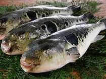 【天然とらふぐ】三河湾・遠州灘一帯は1年365日天然のとらふぐが獲れる、漁獲高No.1のエリアです。