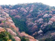 常神半島神子の山桜は4月上旬が見頃を迎えます♪山一面に咲き誇る桜の光景は圧巻!!