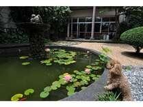 中庭の池 魚とカエルがのんびりと泳いでます
