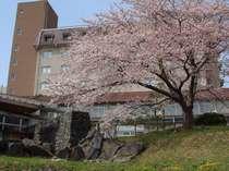 庭園から望む桜