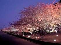 ■河津桜まつり<期間中、毎日ライトアップ>昼間とは表情の違う、艶やかな夜桜