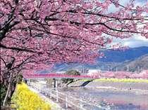■河津桜まつり<菜の花とのコントラストがきれい>
